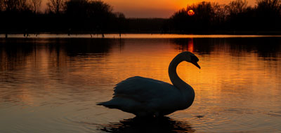 Silhouette of a Swan on a Lake with the sun setting in the background