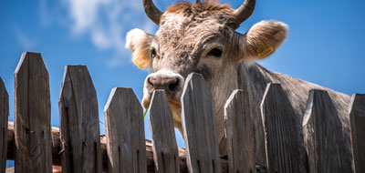 A front view of a Bull looking over a wooden fence